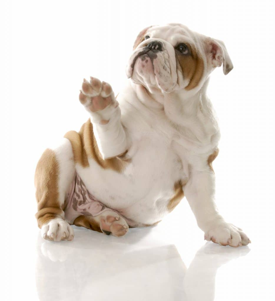 dog with sore paw