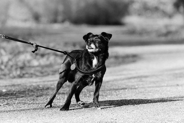 Dog straining on leash