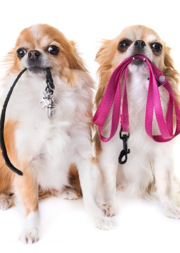 purebred chihuahuas holding leash in front of white background