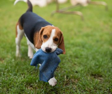 puppy beagle playing on the green field